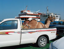Transportation of camels  by car in Oman. Royalty Free Stock Photos