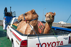 Transportation of camels  by car in Oman. Royalty Free Stock Photography