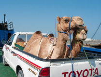 Transportation of camels  by car in Oman. Stock Photo