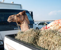 Transportation of camels by car in Oman Stock Photo