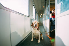 Transportation Dog In Railway Carriage Stock Image