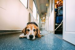 Transportation Dog In Railway Carriage Stock Photos