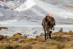 Transportation donkey. In the moutain area, Tibet region, Yading, China Royalty Free Stock Photography