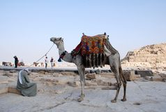 Transportation in Egypt. Camel is the traditional transportation in Egypt Royalty Free Stock Photos