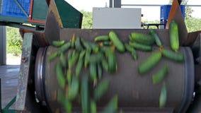 Transportation freshly picked gherkins stock footage