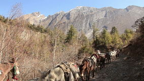 Transportation Goods Mules Nepal Himalayas. Transportation of goods on mules in Himalayas stock video footage