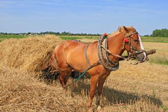 Transportation of hay by a cart Stock Images