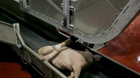 Transportation of Pork Carcasses. Pork carcasses falling and getting transported along the meat factory. Pigs in slaughterhouse. Half pork hanging from the rail stock video
