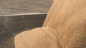 Transporte colhido dos núcleos de milho a um caminhão video estoque