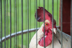 Transporte da galinha foto de stock