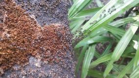 Transporte de las hormigas Fotografía de archivo libre de regalías