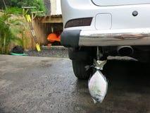 Transporte de pescados debajo del coche de parachoques fotos de archivo libres de regalías