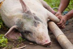 Transporte del cerdo Imágenes de archivo libres de regalías
