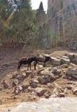 Transporte do asno à ilha do Rodes da acrópole de Lindos, Grécia Fotografia de Stock Royalty Free
