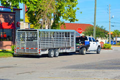 Transporting Cattle Royalty Free Stock Photo
