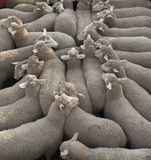 Transporting Sheep Stock Photo