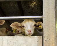 Transporting sheep. Transporting the sheep looking eye to eye Royalty Free Stock Photo