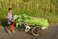 Transporting sugar cane. Portrait of a young Stock Photo
