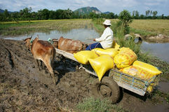 Transportion paddy in rice sack by buffalo cart Stock Photo