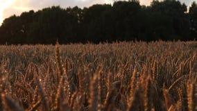 Transportwagen geschossen entlang Weizenfeld auf magische Stunde des Sonnenuntergangs - lange Linse stock video footage