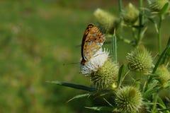 Transsylvanian цветок в солнечности с бабочкой стоковые фотографии rf