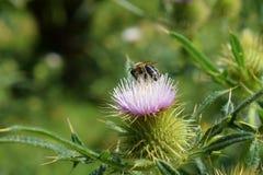 Transsylvanian цветок в солнечности с осой стоковые фотографии rf