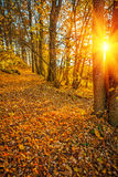 Transulusent sun in autumn forest instagram stile Royalty Free Stock Photos