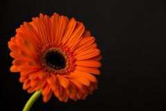 Transvaal daisy Stock Photos