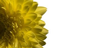 Macro of yellow flower gerbera isolated on white stock images