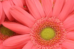 Transvaal daisy fills the whole screen Royalty Free Stock Image