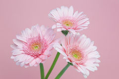 Transvaal daisy Royalty Free Stock Photos