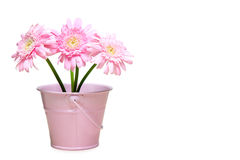 Transvaal daisy in a in a tin bucket Stock Image