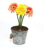 Transvaal daisy in a tin can Royalty Free Stock Photos