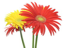 Transvaal daisy in a white background Stock Image