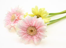 Transvaal daisy in a white background Royalty Free Stock Photos