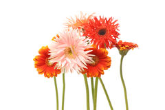 Transvaal daisy in a white background Stock Photography