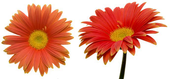 Transvaal daisy in a white background Stock Images