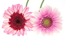 Transvaal daisy in a white background Stock Photos