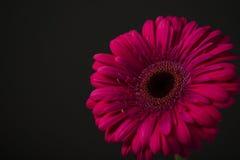 Transvaal-Gänseblümchen Stockbild