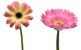 Transvaal-Gänseblümchen in einem weißen Hintergrund Stockfoto