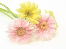 Transvaal-Gänseblümchen in einem weißen Hintergrund Lizenzfreies Stockbild