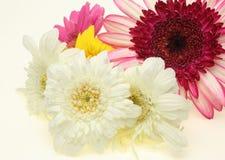 Transvaal-Gänseblümchen in einem weißen Hintergrund Lizenzfreies Stockfoto