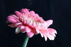 Transvaal-Gänseblümchen- und -watretropfen eines schwarzen Hintergrundes lizenzfreie stockbilder