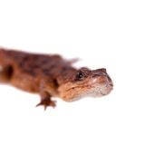 Transvaal Girdled Lizard on white background. Stock Photo