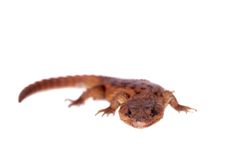 Transvaal Girdled Lizard on white background. Royalty Free Stock Images