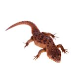 Transvaal Girdled Lizard on white background. Stock Photography