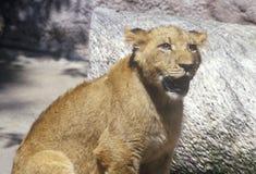 Transvaal lew, Panthera Leo krugeri od republiki Południowa Afryka Zdjęcie Royalty Free
