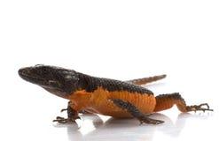 Transvaal rodeó el lagarto fotografía de archivo libre de regalías