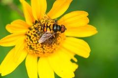 Transverse Flower Fly - Eristalis transversa Stock Photography