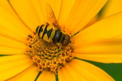 Transverse Flower Fly - Eristalis transversa. Transverse Flower Fly collecting nectar from a yellow False Sunflower. Rosetta McClain Gardens, Toronto, Ontario stock images